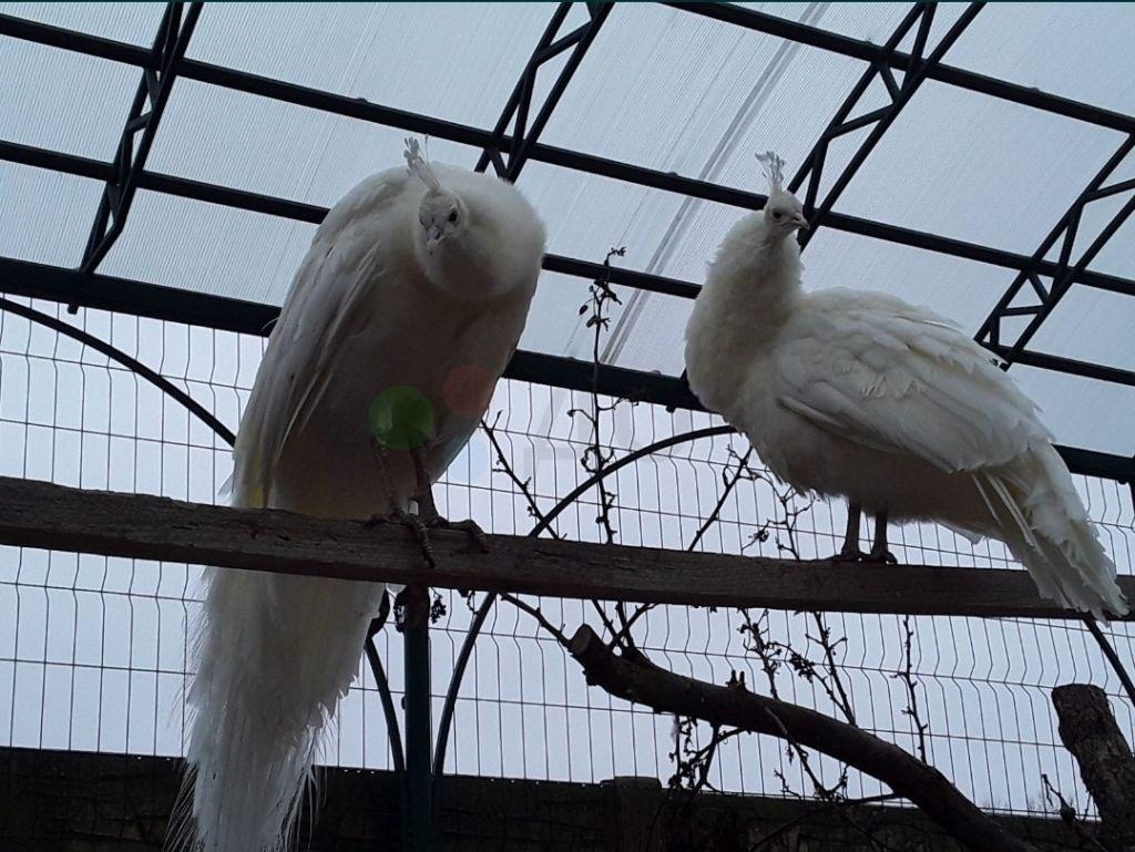 Продам белых павлинов